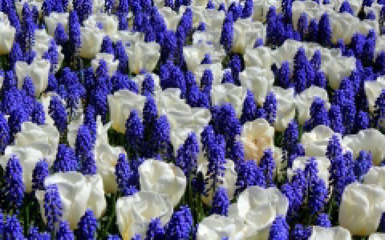Daily Tulip – News World Wednes - robert-mcangus | ello