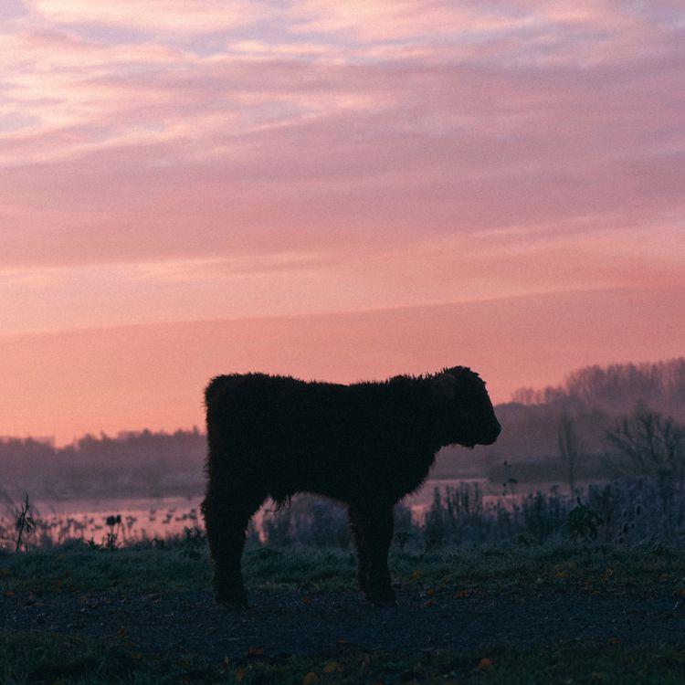 animals, color, cow, calf, winter - klaasphoto | ello