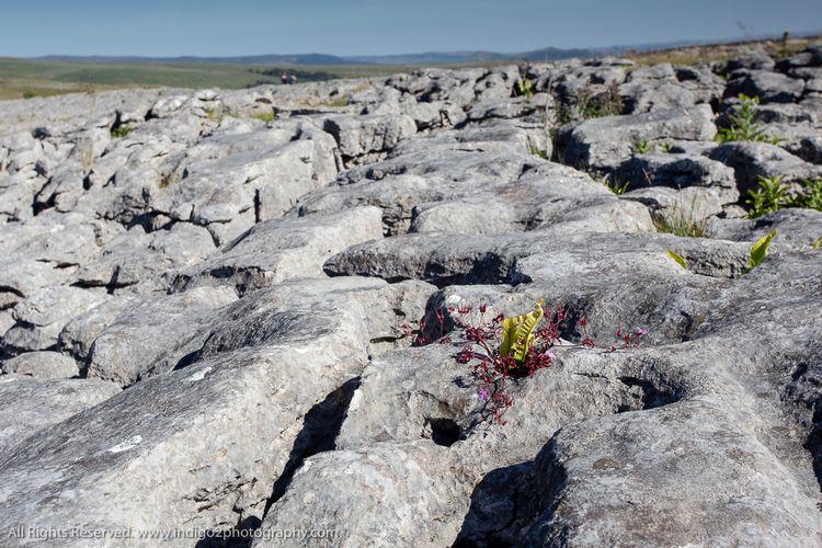 Plant habitat. Limestone paveme - paulindigo | ello
