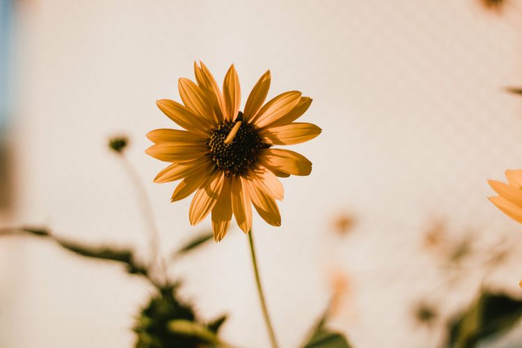 ·Sunflowers:sunflower - sunflowers - thepieholephotography | ello