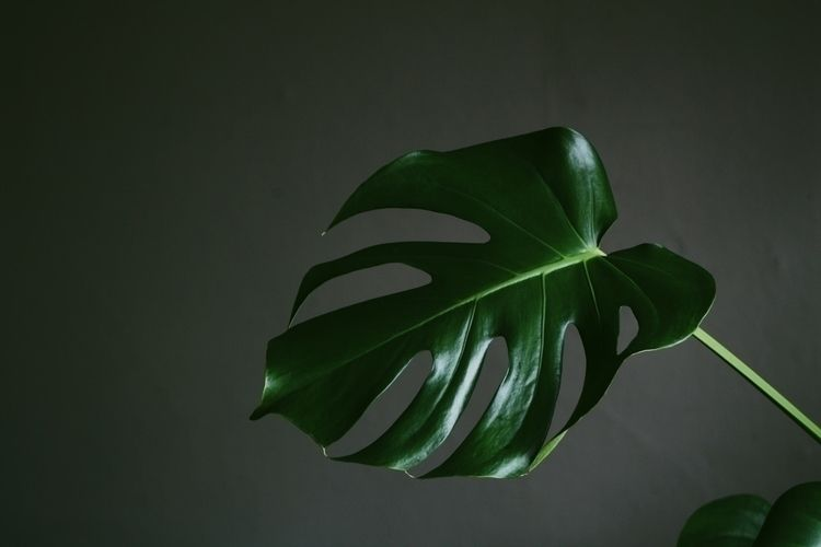 Glossy • Monstera Deliciosa - photography - keepallyweird | ello