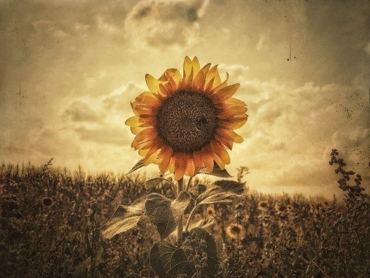 soulful_moments, nature, sunflower - gladbach4ever   ello