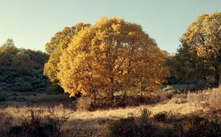 GOLDEN TREE - kodak, landscape, highland - simoesimao | ello