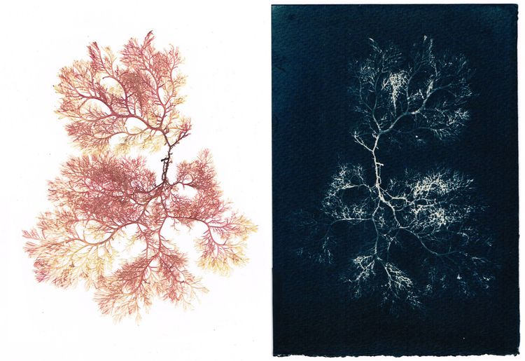 Pressed seaweed cyanotype, digi - christinamriley | ello