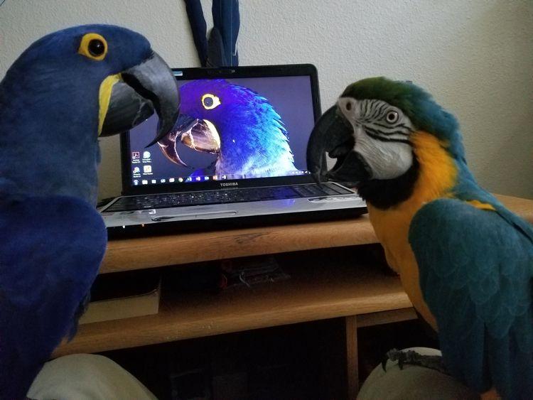 give Hyacinth Macaw Princess Ta - michaelostrogorsky | ello