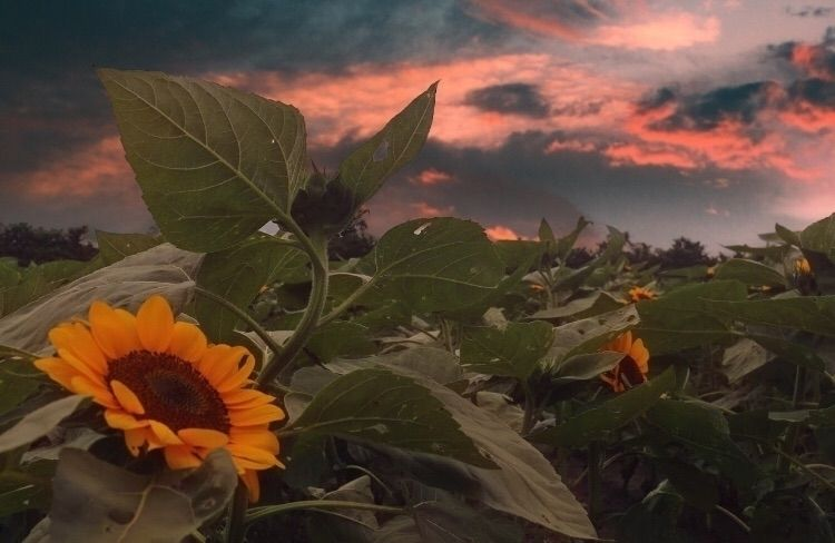 Sunflower sunset - imeric | ello
