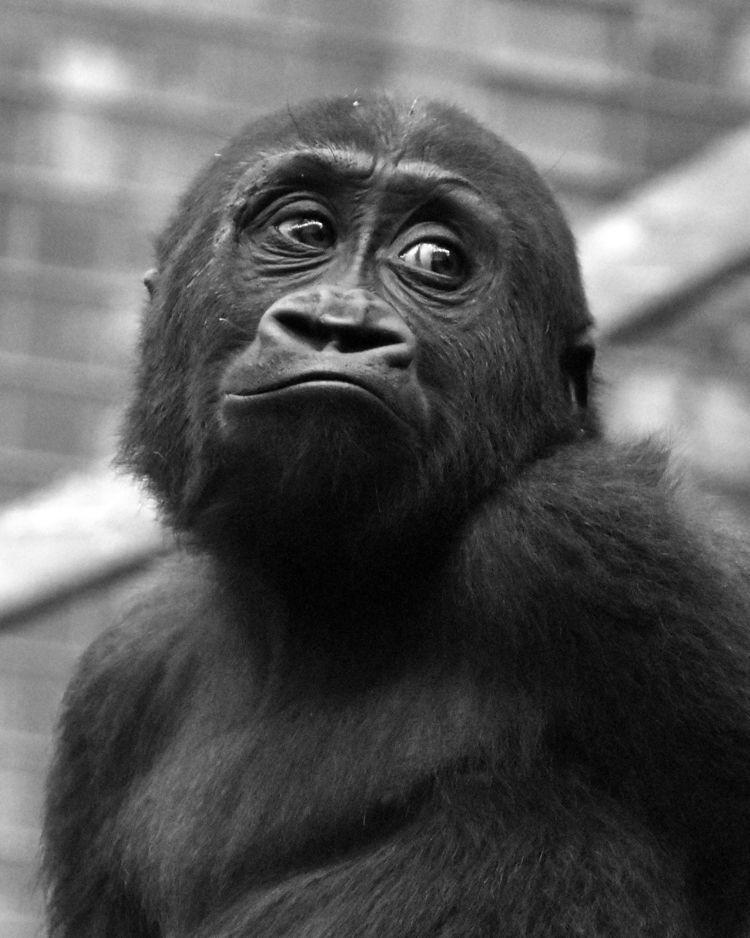 gorilla, babyanimals, blackandwhite - chetkresiak | ello