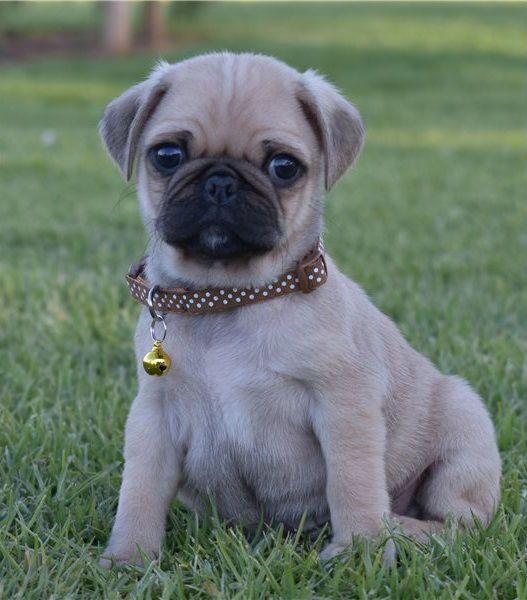 Waaba Pugs | Waabapugs Puppies  - waabapugs | ello