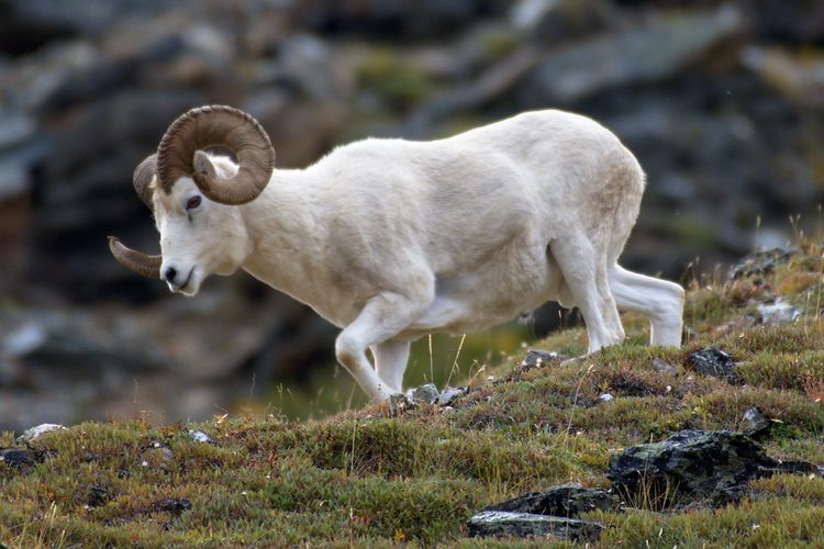 hiking valley Dall Sheep Savage - lwpetersen | ello