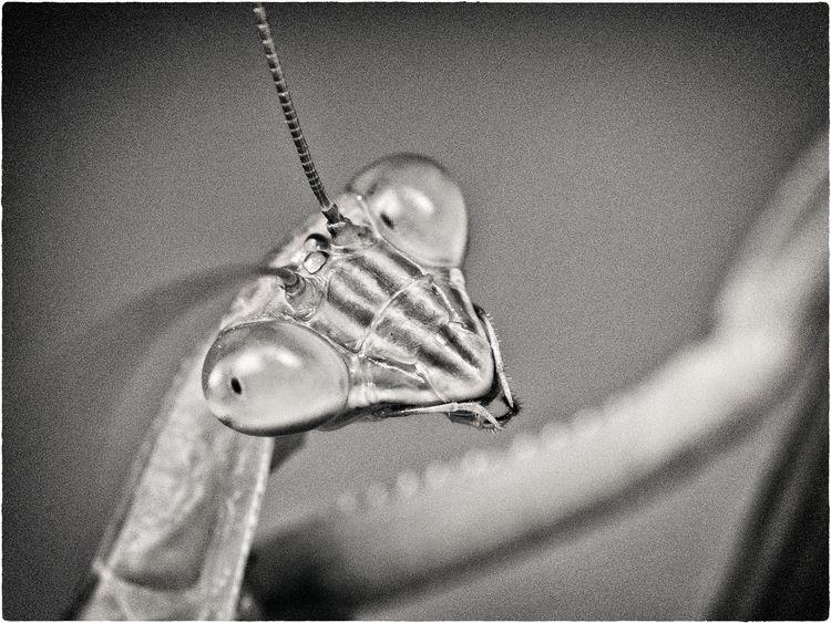 Backyard Mantis Portrait guy ch - neurodancer | ello