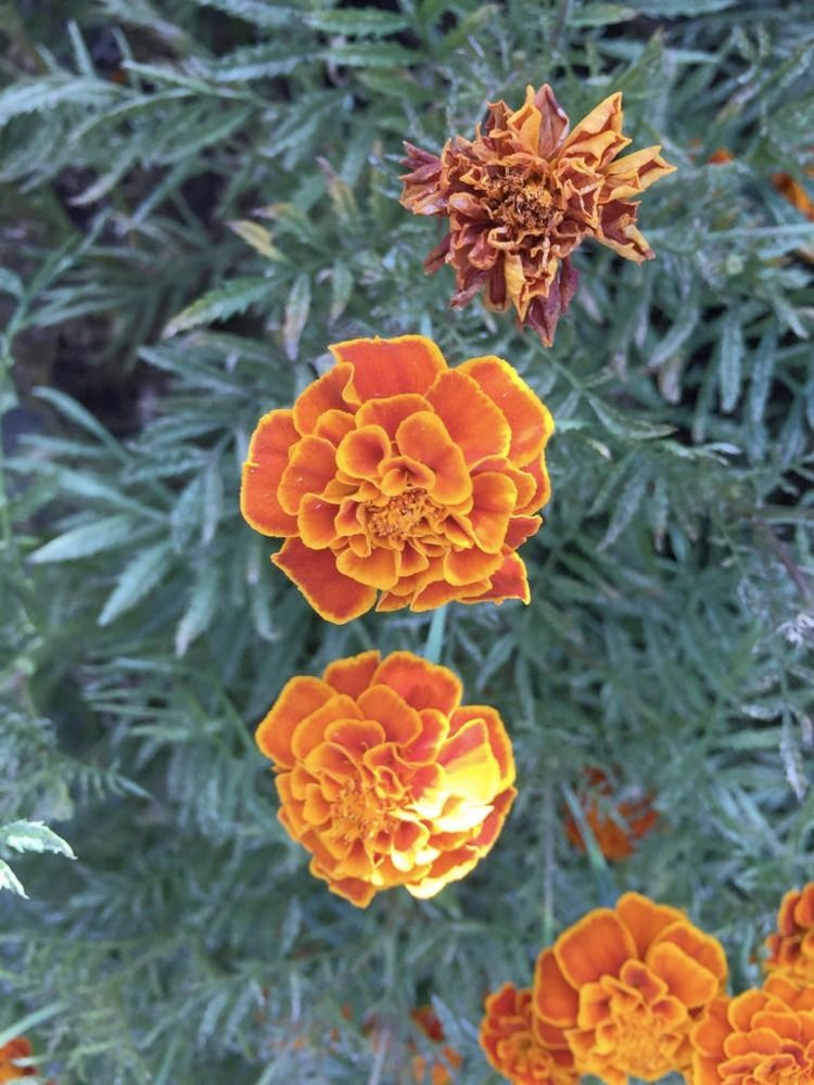 Marigold / Red Wolf - photography - red_wolf | ello