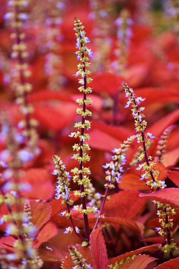 Coleus - flower, flowers, nature - chetkresiak | ello