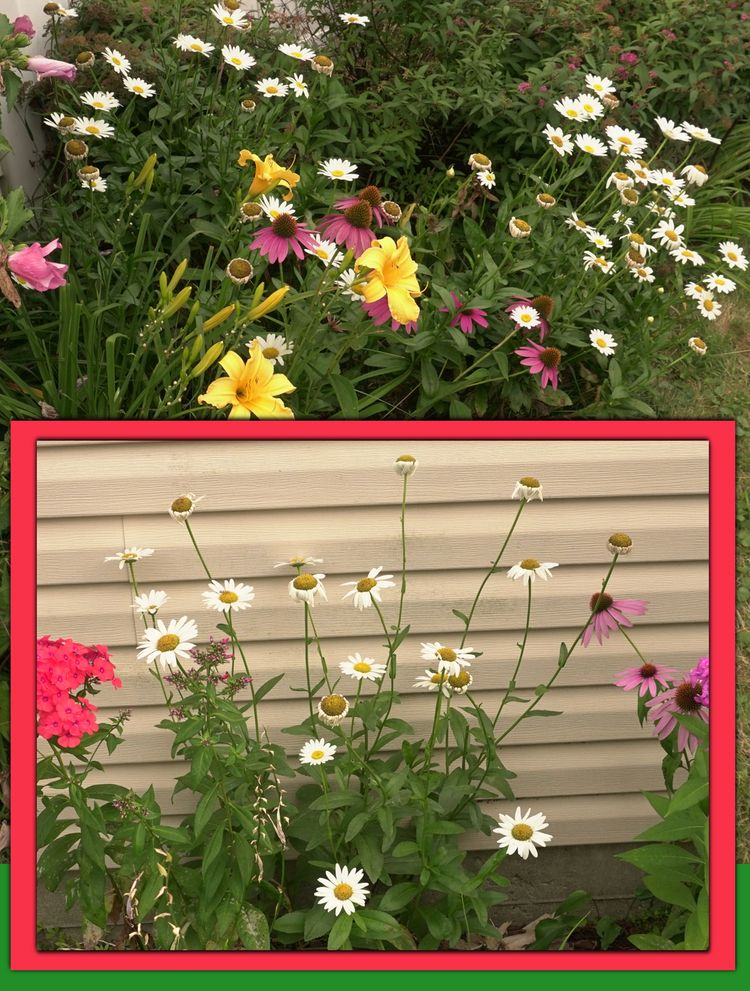 garden, daisies, flowers - coochdawg | ello