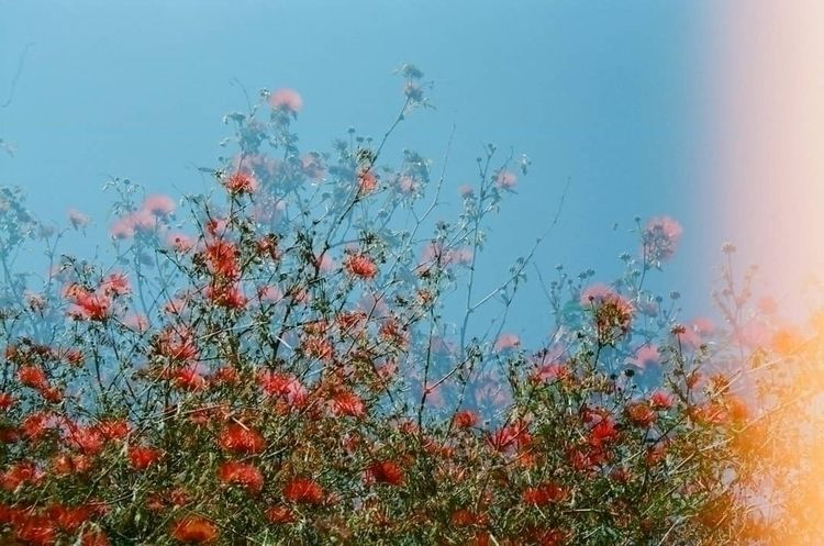 Red Flowers - filmphotography, abstract - bseene | ello