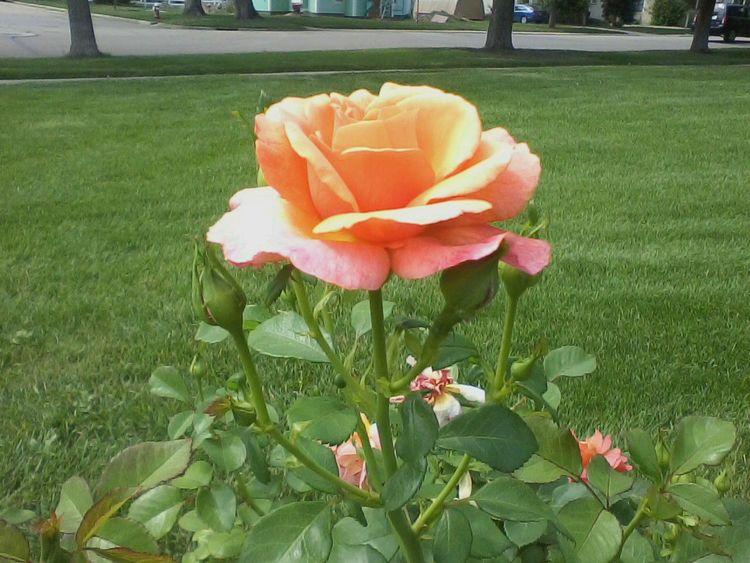 rose picture. noticed rose - askewdin | ello
