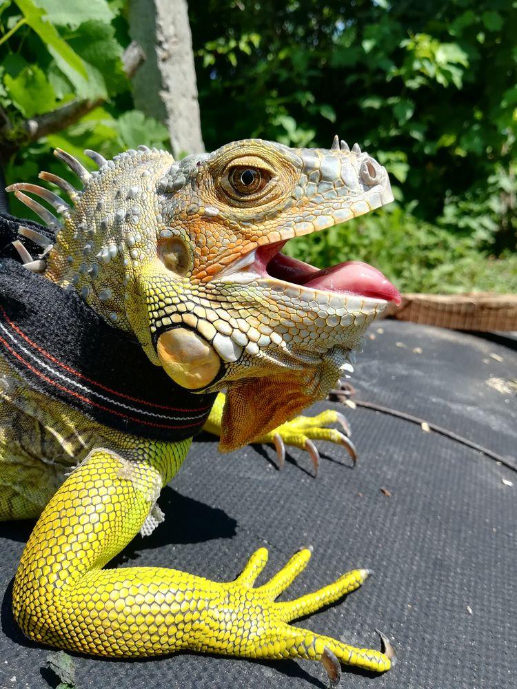 iguana, reptile, summer - wuspirit | ello