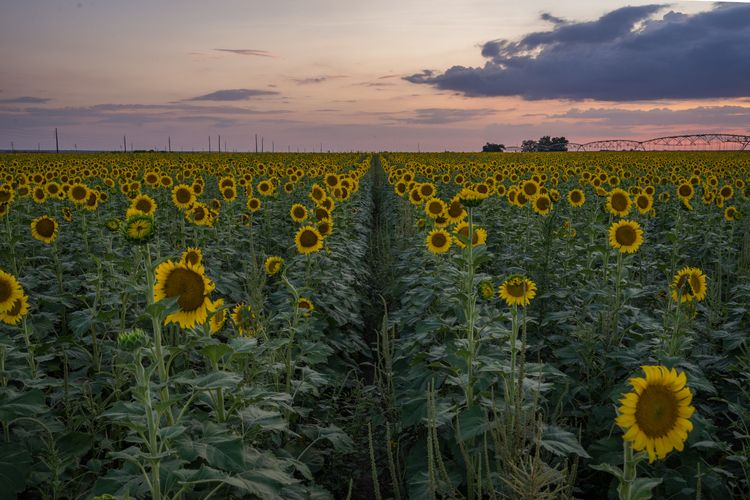 Lined Sun Sunflower fields abso - jeffmoreau | ello