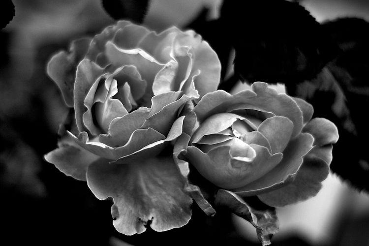 Botanical Monochrome 5410 - flowerphotography - dorian-stretton | ello