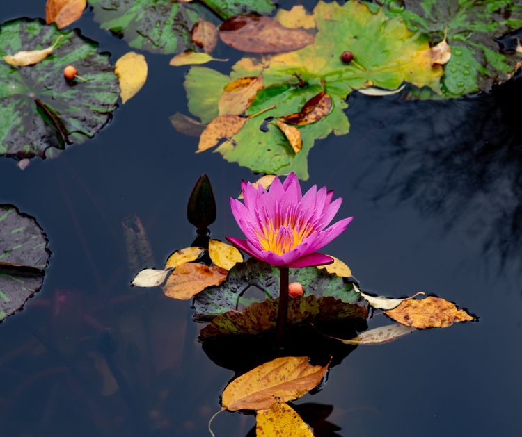 Lotus Pond Central Park, NYC - flowers - jonkahn | ello