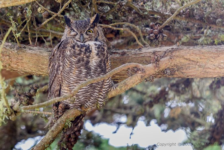 Great Horned Owl Pt Reyes NS He - bjt3 | ello