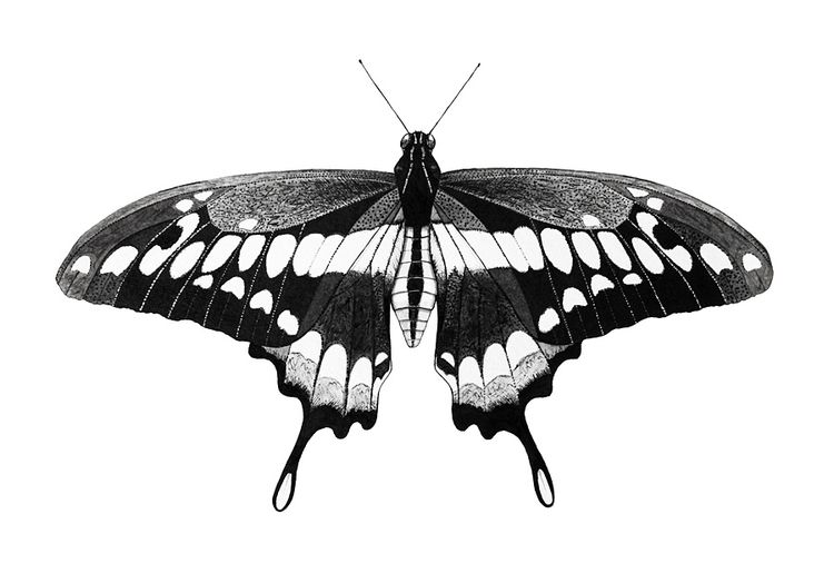 ink, drawing, butterfly - artist_ | ello