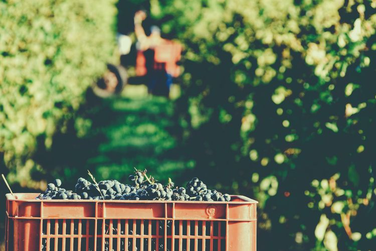 Grapes hold - grapes, vine, vineyard - fedodes | ello