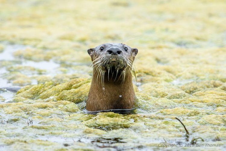 Otters Pt Reyes NS Wild; otter - bjt3 | ello