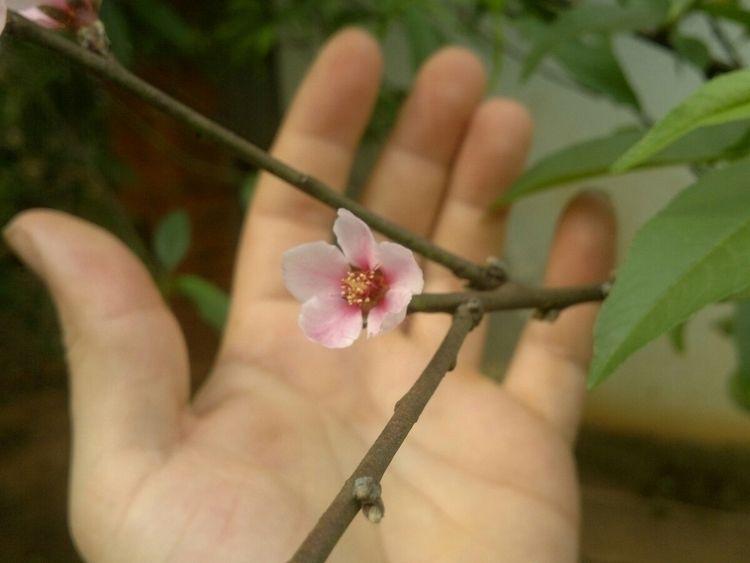Villarrica Paraguay Flor de Dur - cornelioberg | ello