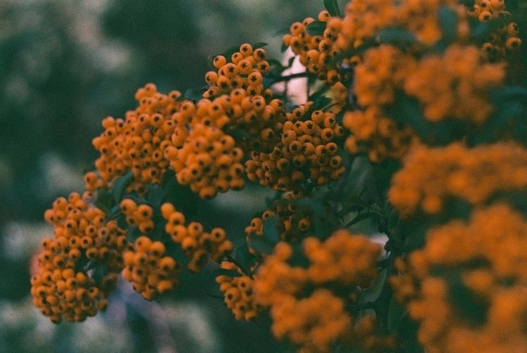 autumnherbs, autumncolors, analogphotography - odoljen | ello