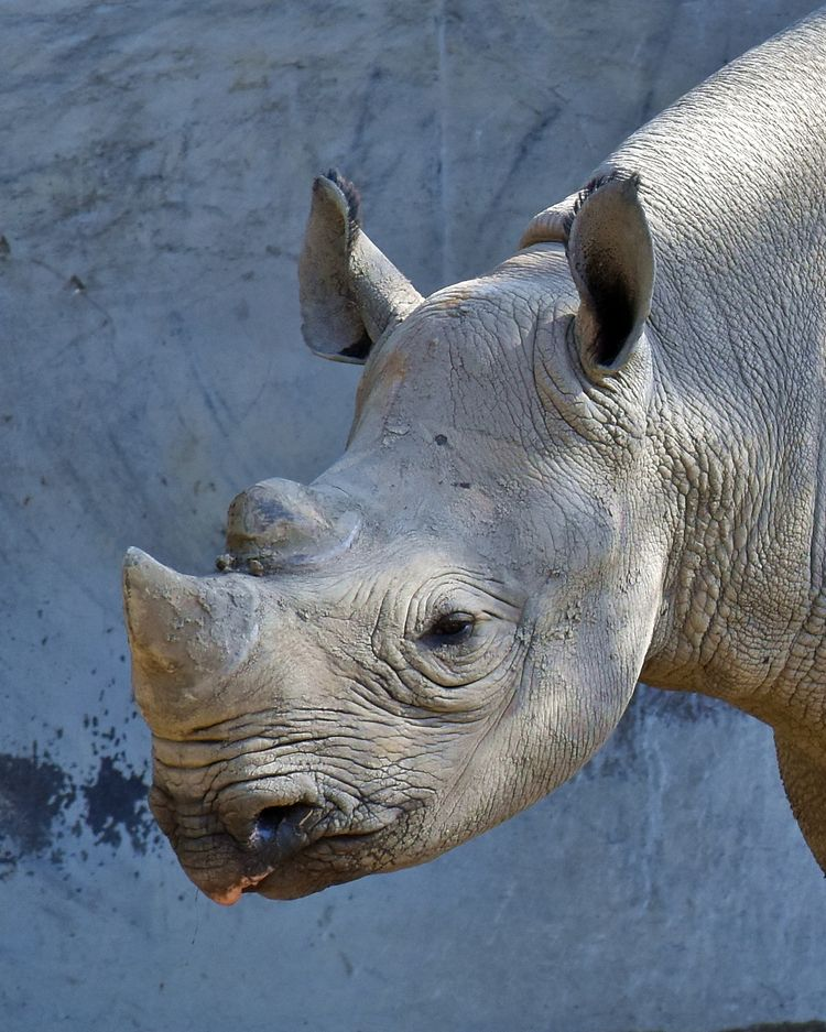 Rosie - rhinoceros, animals, zoos - chetkresiak | ello