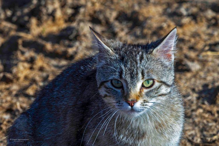 Barnyard Cat, 2018 cat lives Ra - azdrk | ello