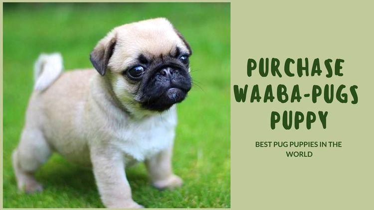 Purchase Waaba-Pugs Puppy - Waa - waabapugs | ello