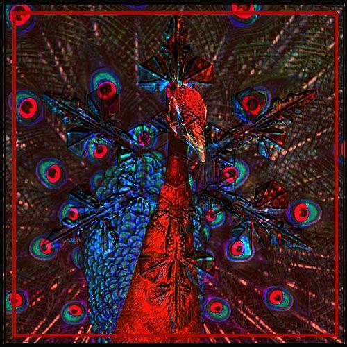 Red Peacock - zteph   ello
