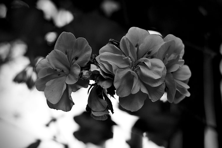 Botanical Monochrome 5612 - flowerphotography - dorian-stretton | ello