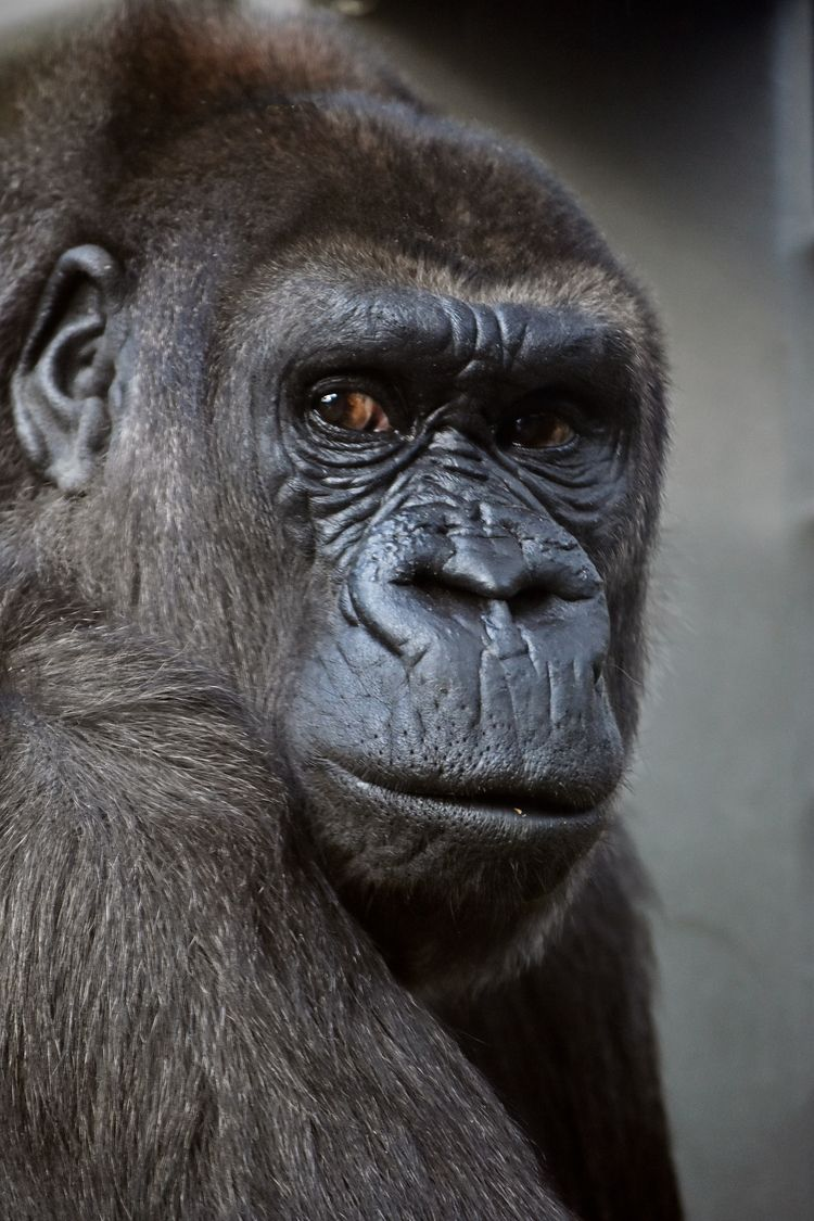 Gorilla - photography, animals - chetkresiak | ello
