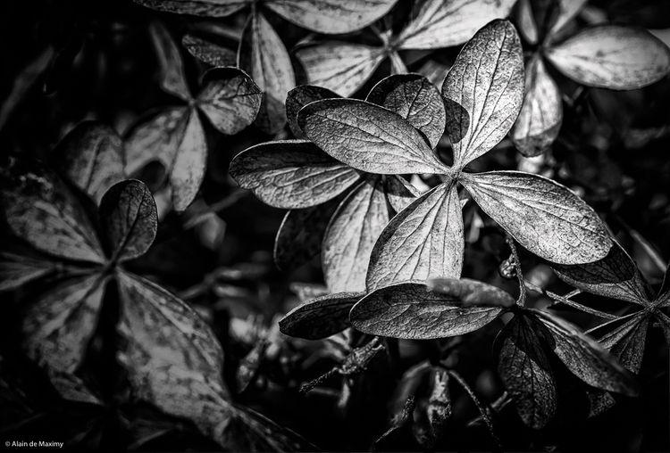 Closeup dry Hydrangea paniculat - maximy | ello
