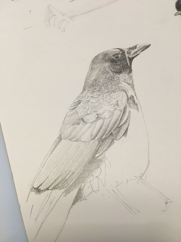 12 ? Northwestern Crow - illustration - mtncycle | ello