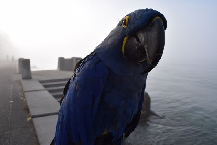 Hyacinth Macaw Princess Tara we - michaelostrogorsky | ello