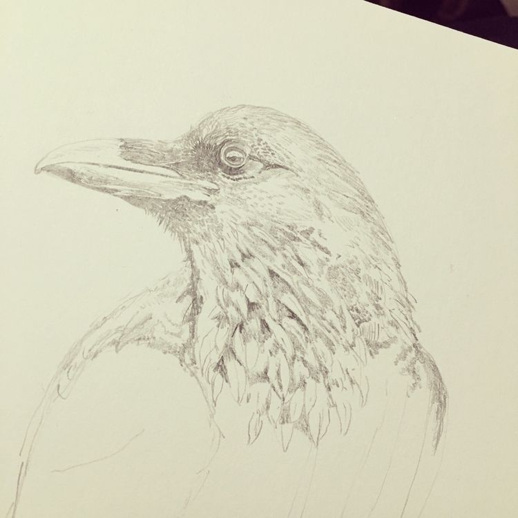15 ? Raven longer - illustration - mtncycle   ello