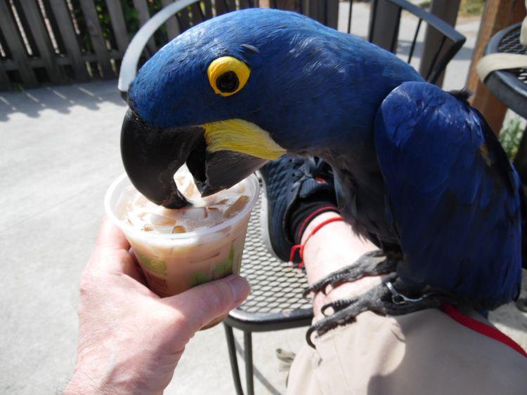 Advice Hyacinth Macaw Princess  - michaelostrogorsky | ello