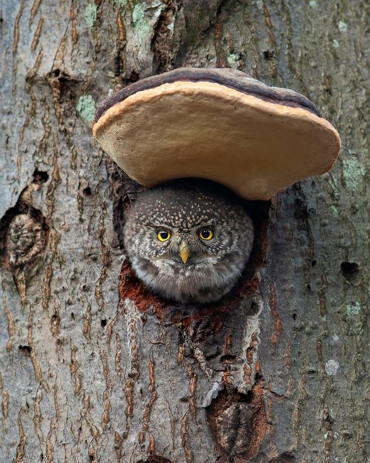 Majestic Photographs Owls Johnn - photogrist | ello