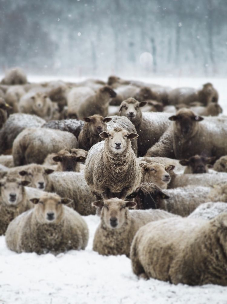 Sheep Gang  - sheep, animal, winter - rafray | ello