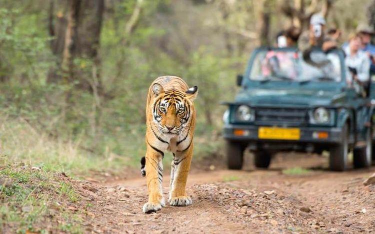 Ranthambore world famous tiger  - alinajack   ello