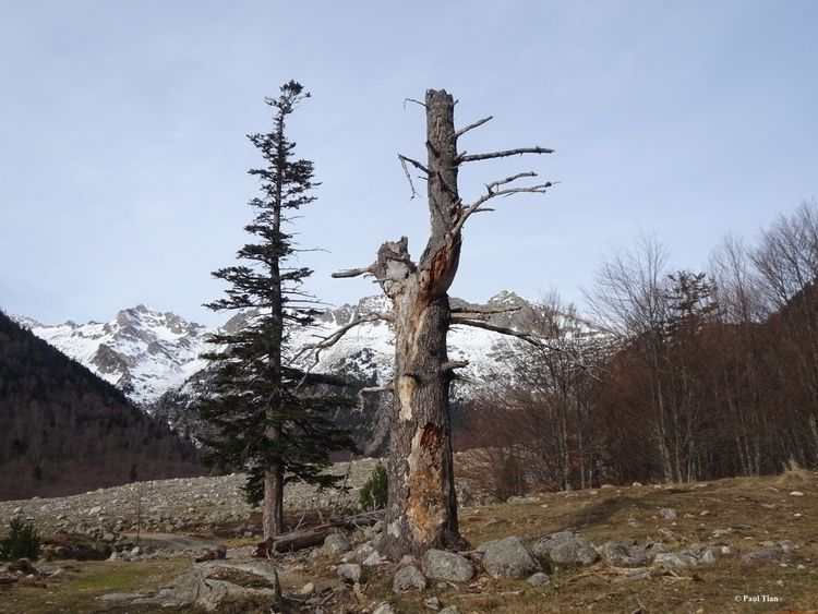 Trees alive dead - Pyrénées, mountain - paultian | ello