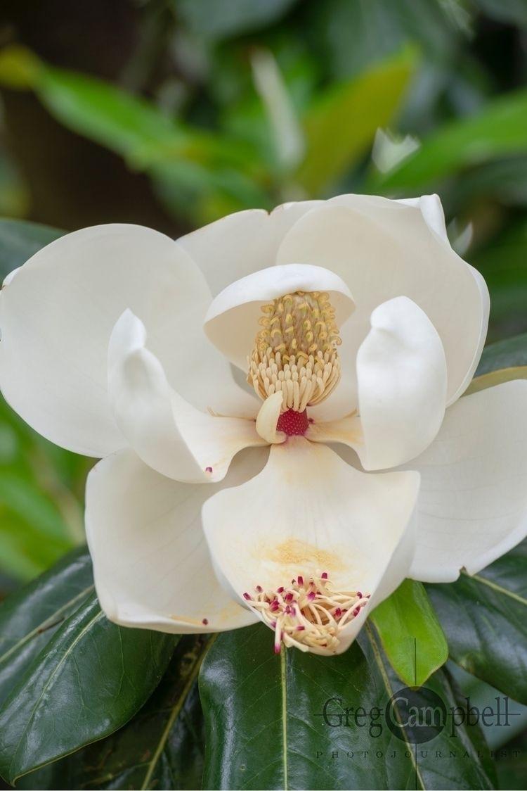 Magnolia - memphisphotographer, photojournalism - gregc29 | ello