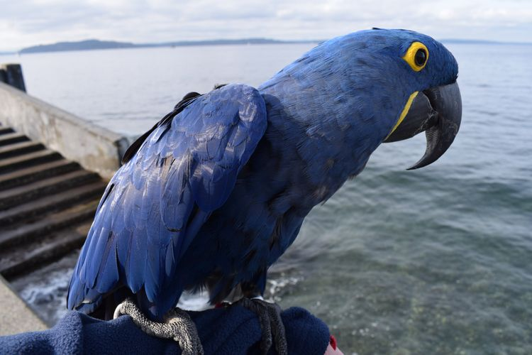 Portrait Parrot. Hyacinth Macaw - michaelostrogorsky | ello