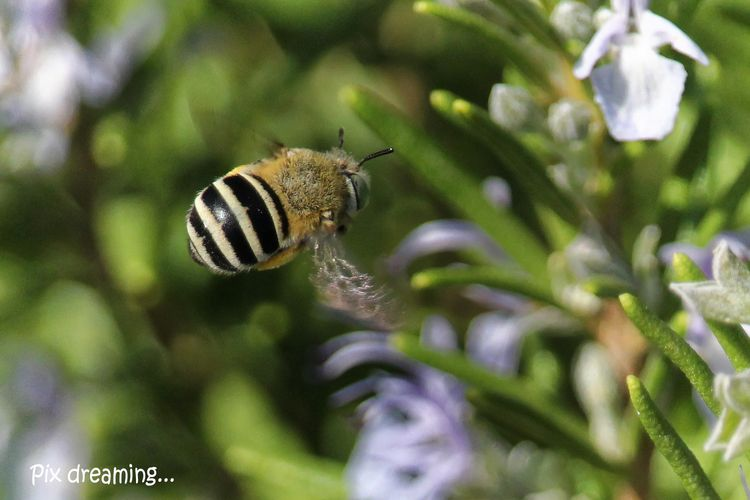 Sicilian bee - photography, macro - pixdreaming   ello
