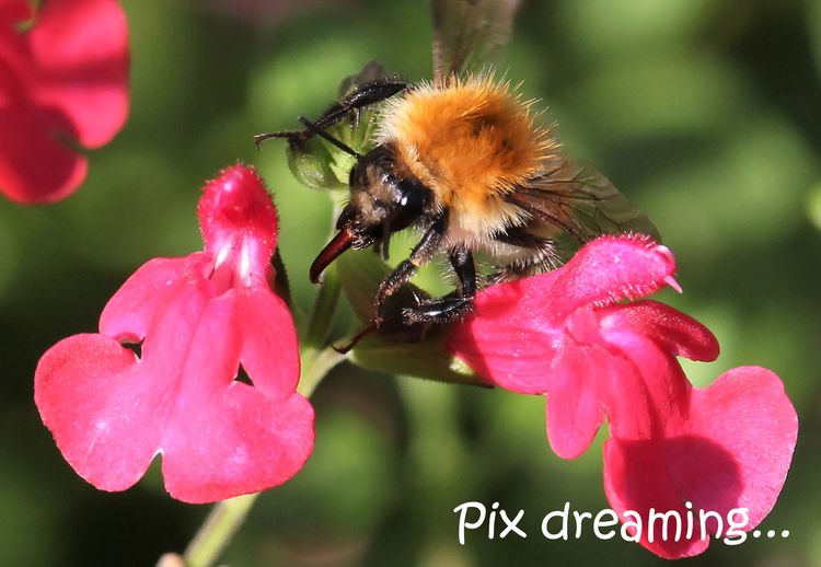 Bumblebee action - photography, macro - pixdreaming   ello