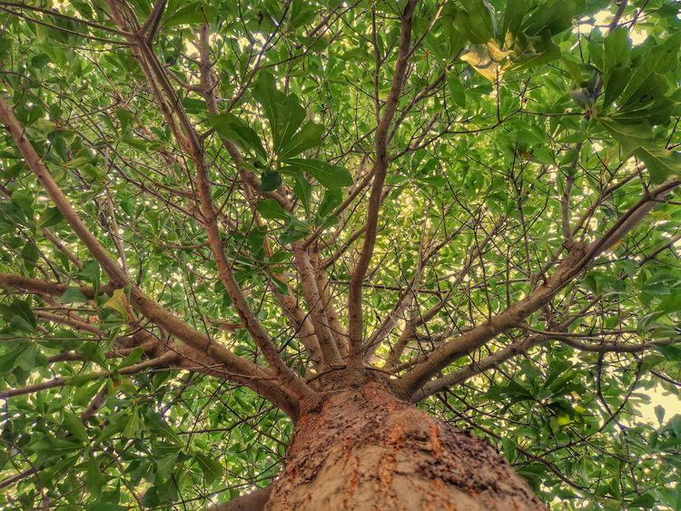 American Oak - roble, americao, american - jjackal | ello