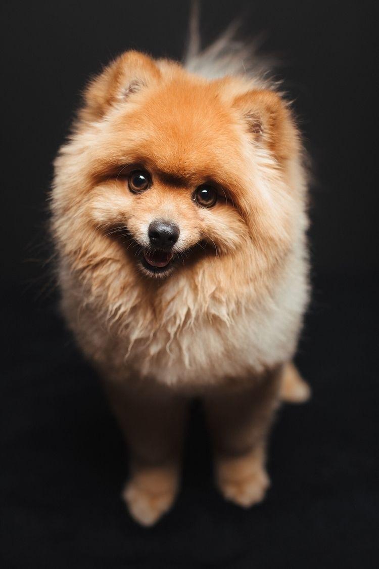 Teddy - pomeranian, pom, petphotography - muttshots | ello